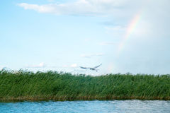 Una multitud de las gaviotas del río vuela sobre la superficie del agua del ` s del lago contra la perspectiva del cielo y de las Fotografía de archivo