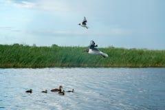 Una multitud de las gaviotas del río vuela sobre la superficie del agua del ` s del lago contra la perspectiva del cielo y de las Imagen de archivo