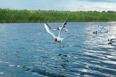 Una multitud de las gaviotas del río vuela sobre la superficie del agua del ` s del lago contra la perspectiva del cielo y de las Fotografía de archivo libre de regalías