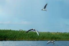 Una multitud de las gaviotas del río vuela sobre la superficie del agua del ` s del lago contra la perspectiva del cielo y de las Foto de archivo libre de regalías
