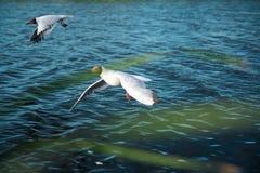 Una multitud de las gaviotas del río vuela sobre la superficie del agua del ` s del lago contra la perspectiva del cielo y de las Imagen de archivo libre de regalías