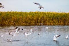 Una multitud de las gaviotas grandes blancas en un otoño parquea está pescando en el lago Imagenes de archivo