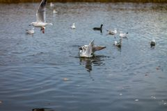 Una multitud de las gaviotas grandes blancas en un otoño parquea está pescando en el lago Imagen de archivo libre de regalías