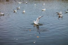 Una multitud de las gaviotas grandes blancas en un otoño parquea está pescando en el lago Foto de archivo libre de regalías