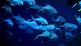 Una multitud de las nadadas de los peces marinos lentamente en una dirección metrajes