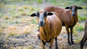 Una multitud de las ovejas curiosas de Barbado Blackbelly Imagen de archivo libre de regalías