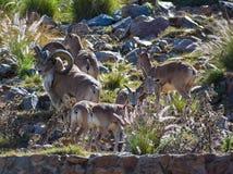 Una multitud de las ovejas de montaña del carnero con grandes cuernos imagen de archivo