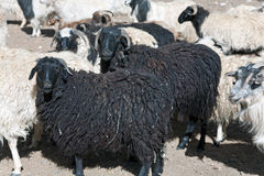 Una multitud de las ovejas que cruzan ZojiLa pasa, Ladakh, Jammu y Cachemira, la India imágenes de archivo libres de regalías