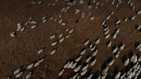 Una multitud de las ovejas que pastan en el abejón de las montañas 4K metrajes
