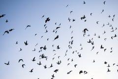 Una multitud de las palomas del vuelo Fotografía de archivo