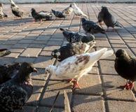 Una multitud de las palomas que comen en la calle fotografía de archivo