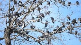 una multitud de las palomas que se colocan en el árbol metrajes