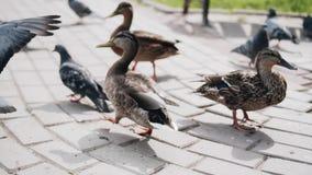 Una multitud de las palomas y de dos patos que comen el pan en el parque P?jaros de la alimentaci?n de la gente almacen de metraje de vídeo