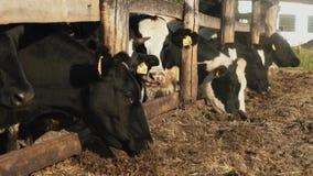 Una multitud de las vacas nacionales que comen el heno en la granja almacen de video