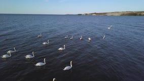 Una multitud de los cisnes blancos nada en el mar Madrugada en el puerto Escupida de Curonian lituania almacen de video