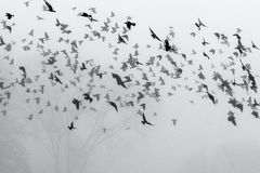 Una multitud de los cuervos que vuelan sobre el campo fotos de archivo libres de regalías