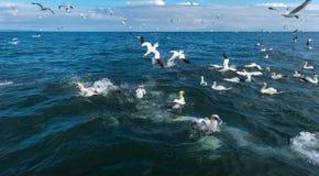 Una multitud de los gannets que mienten y que se zambullen para los pescados Imagenes de archivo
