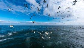Una multitud de los gannets que vuelan y que se zambullen para los pescados Imagen de archivo libre de regalías