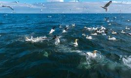 Una multitud de los gannets que vuelan y que se zambullen para los pescados Foto de archivo