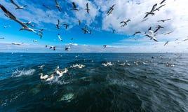 Una multitud de los gannets que vuelan y que se zambullen para los pescados Imagen de archivo