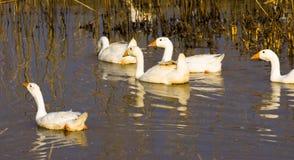 Una multitud de los gansos blancos que nadan en el agua fotos de archivo libres de regalías