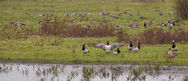 Una multitud de los gansos de lapa Fotos de archivo libres de regalías