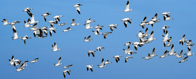 Una multitud de los gansos de nieve Imágenes de archivo libres de regalías