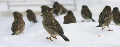 Una multitud de los gorriones de los pájaros que se sientan en nieve en invierno Fotografía de archivo libre de regalías