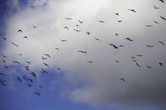 Una multitud de los pájaros del grajo (monedula del Corvus) que vuelan delante de una nube Imagen de archivo