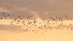 Una multitud de los pájaros en el amanecer, el sol Fotos de archivo