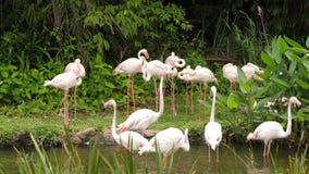 Una multitud de los pájaros hermosos del flamenco camina en el lado del río almacen de video