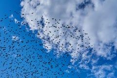 Una multitud de los pájaros negros que vuelan en el cielo azul Fotografía de archivo