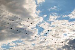Una multitud de los pájaros que se sientan en los alambres contra el cielo hermoso Fotos de archivo