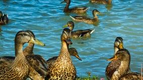 Una multitud de los patos que caminan a lo largo de la orilla almacen de metraje de vídeo