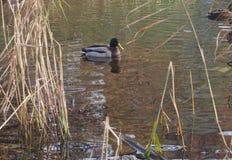 Una multitud de los patos salvajes que nadan en la charca Patos y patos machos Fotos de archivo