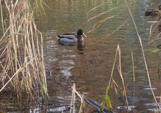 Una multitud de los patos salvajes que nadan en la charca Patos y patos machos Imagenes de archivo