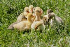 Una multitud de los pequeños gansos que pastan en hierba verde Imagen de archivo