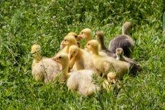 Una multitud de los pequeños gansos que pastan en hierba verde Foto de archivo libre de regalías