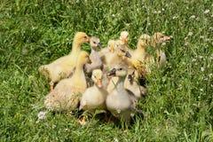 Una multitud de los pequeños gansos que pastan en hierba verde Fotos de archivo