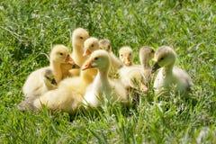 Una multitud de los pequeños gansos que pastan en hierba verde Imagen de archivo libre de regalías