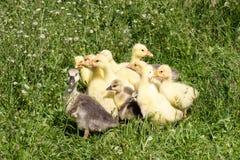 Una multitud de los pequeños gansos que pastan en hierba verde Fotografía de archivo libre de regalías