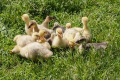 Una multitud de los pequeños gansos que pastan en hierba verde Imagenes de archivo