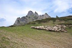 Una multitud de ovejas Imagenes de archivo