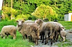 Una multitud de ovejas imagen de archivo libre de regalías
