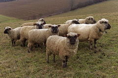 Una multitud de ovejas Fotos de archivo libres de regalías