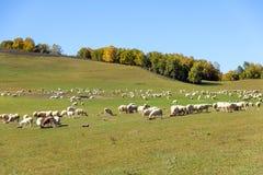 Una multitud de ovejas en el prado Imagen de archivo libre de regalías