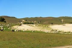 Una multitud de ovejas en el prado Fotos de archivo