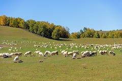 Una multitud de ovejas en el prado Fotos de archivo libres de regalías
