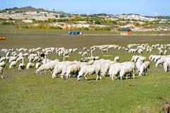 Una multitud de ovejas en el prado Imagen de archivo