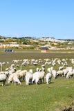Una multitud de ovejas en el prado Fotografía de archivo